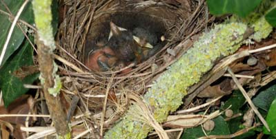 nightingale chicks in their nest